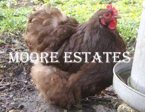 DTDD Happy Hens from Dawn till Dusk Chocolate-Orpington-Bantams